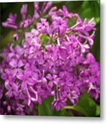 Spring Lilacs On Black Metal Print