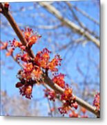Spring Maple Blossoms Metal Print
