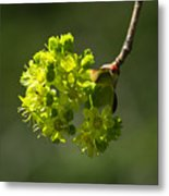 Spring Maple Metal Print