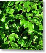 Spring New Beech Leaves Metal Print