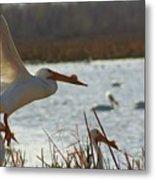 Spring Pelicans 2 Metal Print