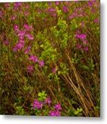 Spring Rhodora Blossoms Metal Print