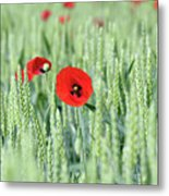 Spring Scene Green Wheat And Poppy Flowers Metal Print