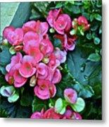 Spring Show 17 Begonias And Roses Metal Print
