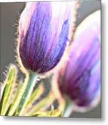 Spring Time Crocus Flower Metal Print