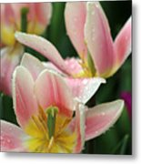 Spring Tulips 152 Metal Print