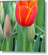 Spring Tulips 211 Metal Print
