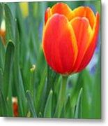 Spring Tulips 214 Metal Print