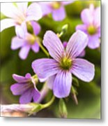 Springtime Blooms Violet Wood Sorrel 3 Metal Print