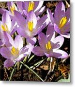 Springtime Crocuses  Metal Print
