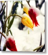 Springtime Tulips In The Snow Poster Print Metal Print