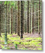 Spruce Forest Metal Print