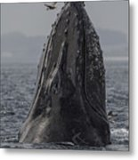 Spyhopping Humpback Whale In Monterey Bay Metal Print