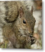 Squirrel And Nuts Metal Print