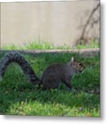 Squirrel At A Stand Still Metal Print