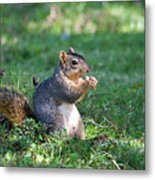 Squirrel Eating A Nut - Eugene Oregon Metal Print