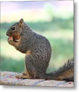 Squirrel Eating Crab Apple Metal Print