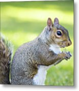 Squirrel Eating Grapes Metal Print