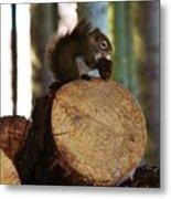 Squirrel Eating Pinecones Metal Print