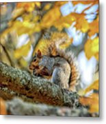Squirrel In Autumn Metal Print