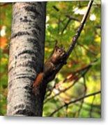 Squirrel In Fall Metal Print