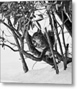 Squirrel In Low Branches Metal Print