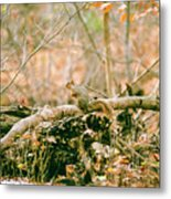 Squirrel In The Woods  Metal Print