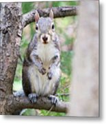 Squirrel Looking At Photographer And Waiting To Be Fed Metal Print