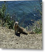 Squirrel Looking Back Over His Shoulder On The Coast Metal Print