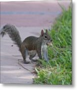 Squirrel Nuts Metal Print