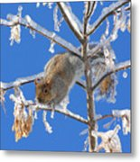 Squirrel On Icy Branches Metal Print