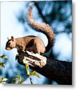 Squirrel On Limb Metal Print