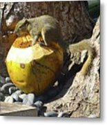 Squirrel On The Coconut Metal Print