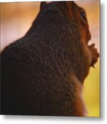 Squirrel Reflection Metal Print