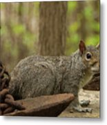 Squirrel With Anchor Metal Print