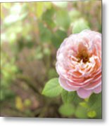 St. Cecilia Shrub Rose, Pink Rose Originally Produced By The Br Metal Print