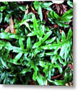 Staghorn Fern With Dead Leaves Metal Print