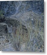 Stalked - Mountain Lion Metal Print