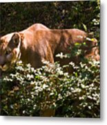 Stalking Big Cat Metal Print