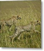 Stalking Cheetahs Metal Print