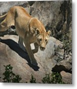 Stalking Humans Metal Print