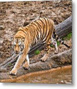 Stalking Tiger - Bengal Metal Print