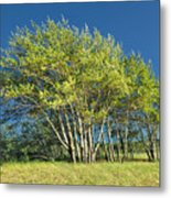 Stand Of Lake Birch Trees Metal Print
