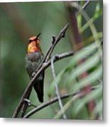 Standing Guard -- Anna's Hummingbird In Templeton, California Metal Print