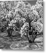 Star Magnolia Trees Metal Print
