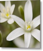 Star Of Bethlehem Metal Print by Margaret Denny
