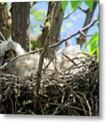 Staring From Its Nest Metal Print