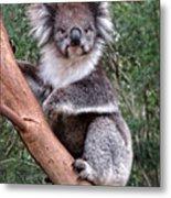Staring Koala Metal Print