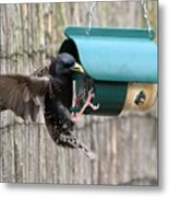 Starling On Bird Feeder Metal Print