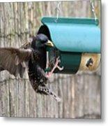 Starling On Bird Feeder Metal Print